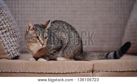 The striped domestic cat of a gray coloring sits on a sofa.