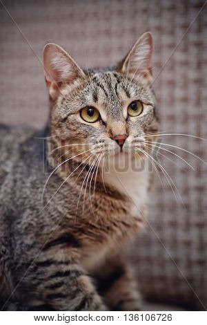 Portrait of a striped domestic cat of a gray coloring.