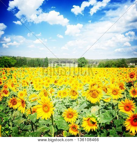 Field of colorful sunflowers at bright summer day, retro toned