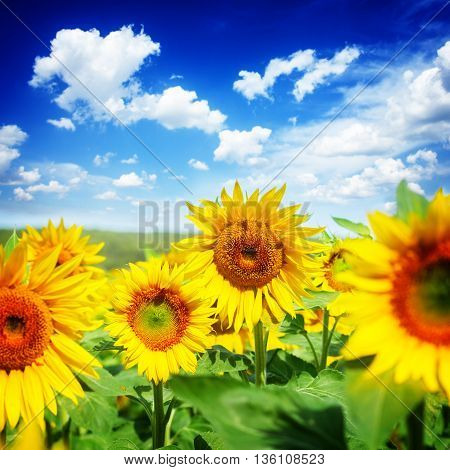 Field of fresh sunflowers at bright summer day close up under blue sky with clouds, retro toned