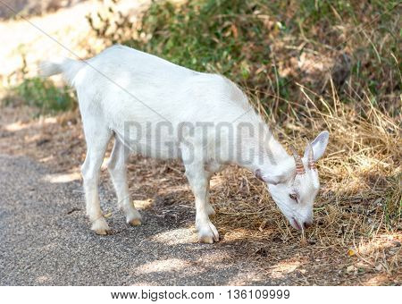 Little white goat eating raw grass in the field