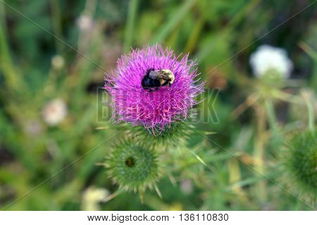 A bee gathers nectar from a Scotch thistle flower (Onopordum acanthium) in Shorewood, Illinois during the summer.