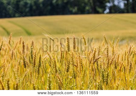 Field filled with almost ready to harvest winter wheat (riticum aestivum)