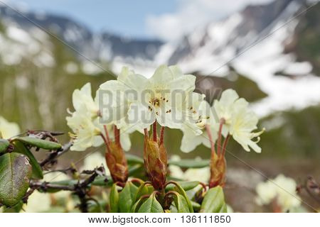 Wildlife Kamchatka Peninsula: beautiful flowering Rhododendron Aureum on a background of mountains in sunny weather. Kamchatka Russia Far East Eurasia.