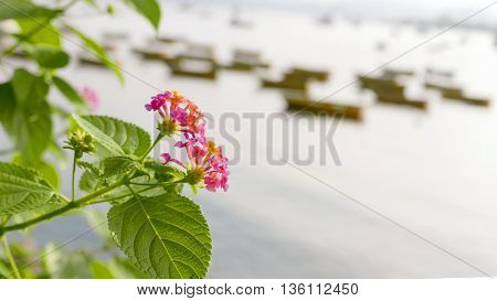 Closeup Pink Blossom Flowers With Leaves Near Sea