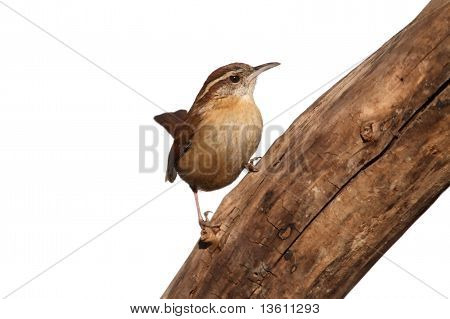 Carolina Wren On A Branch Isolated