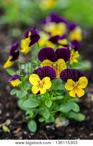 Small pansies in the home garden.