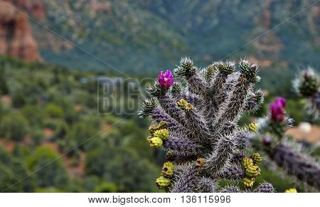 Blooming Cactus In The Desert