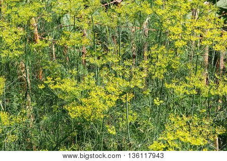 Fennel growing in home garden culinary dill in garden seasoning for cooking