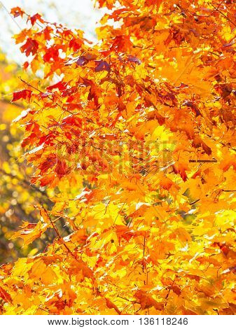 Bright autumn leaves in the natural environment. Fall maple trees yellow orange nature background