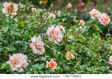 A large group of orange and pink roses in a garden.