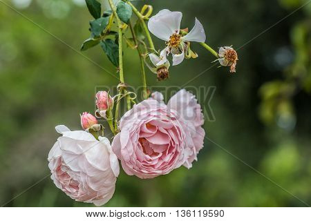 Pink St. Cecilia roses hanging in a rose garden