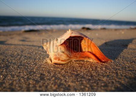Conch Shell - Nantucket