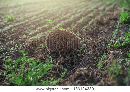 hedgehog at the field
