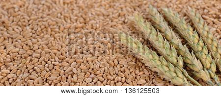 Background of wheat and wheat ear close up