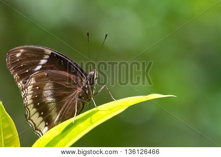 lime butterfly on Ixora flowers, macro photograph