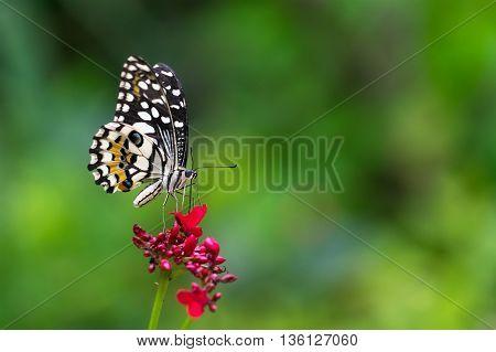 lime butterfly on Ixora flowers in garden