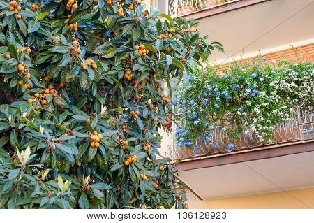 Medlar tree branch and ripe fruits with house balcony decorated with flowers