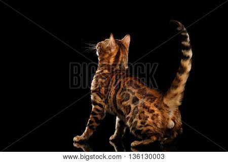 Playful Bengal Male Cat with beautiful spots Standing and Looking up on Isolated Black Background, Back view on his ball, Adorable breed