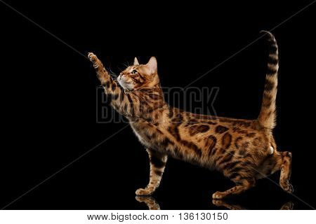 Playful Bengal Male Cat with beautiful spots Standing and Raising up paw on Isolated Black Background, Side view, Gorgerous breed