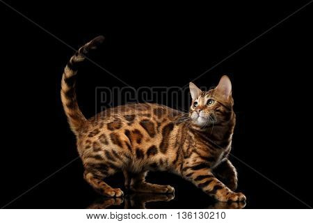 Playful Bengal Male Cat with beautiful spots Play with his tail, on Isolated Black Background, Side view, running back