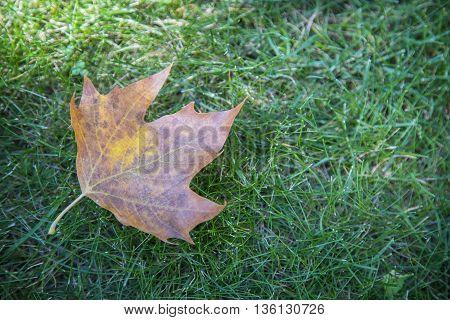 One fallen dry leaf on green grass