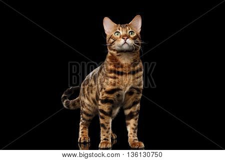 stately Bengal Male Cat with beautiful spots Standing and Looking up on Isolated Black Background, Front view, Gorgerous breed