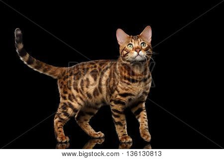 Handsome Bengal Male Cat with beautiful spots Standing and Looking up on Isolated Black Background, Side view, Gorgerous breed
