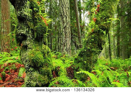 a picture of an exterior Pacific Northwest forest of ferns and a mossy maple tree