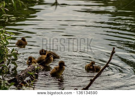 Sankt-St. Petersburg-25.05.2016: the little ducklings bathing in a forest pond