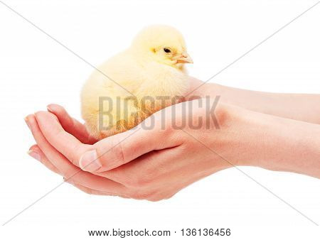 Close Up Of Female Hands Holding Small Yellow Chicken