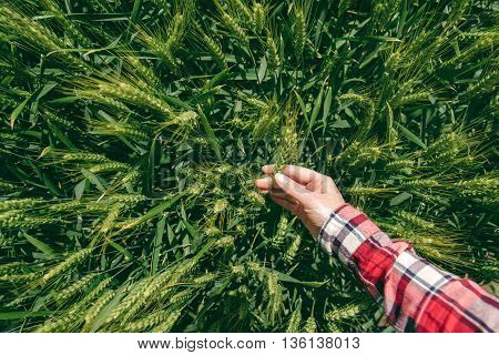 Female farmer in wheat field personal point of view hand touching cereal crops