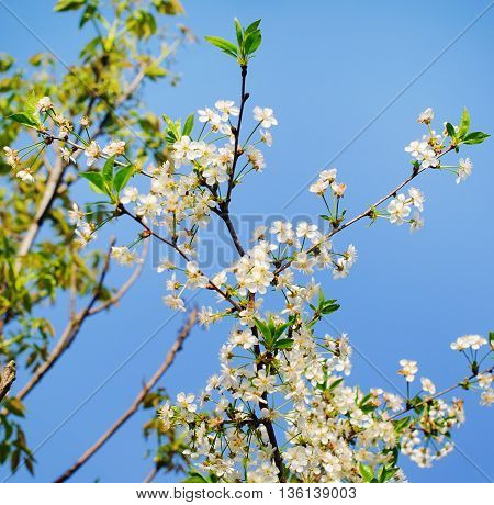 Cherry tree in spring and blue skye