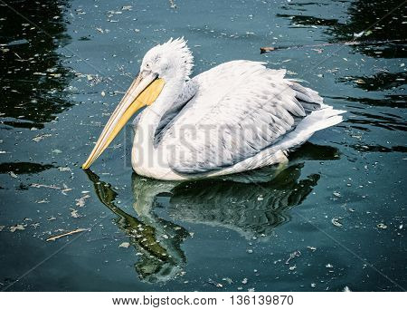 Great white pelican - Pelecanus onocrotalus - is reflected on the shimmering lake. Big bird. Blue photo filter. Animal scene. Beauty in nature. Bird portrait.
