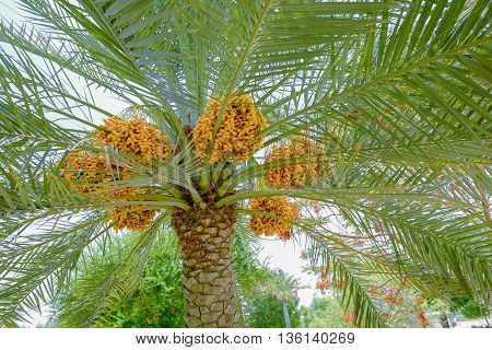 Dates ripening on a date palm tree in Muscat Oman