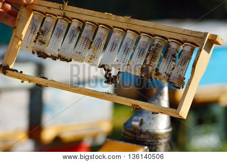 Beekeeper holding wooden frame with becoming queen bees