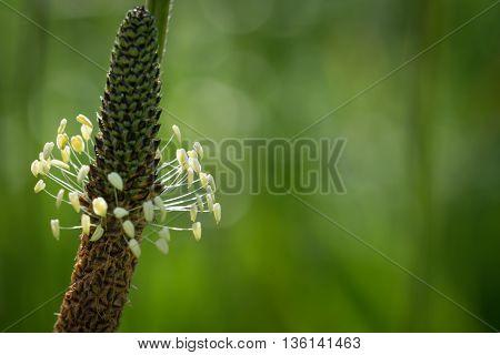 Plantago Lanceolata Flower As Floral Background