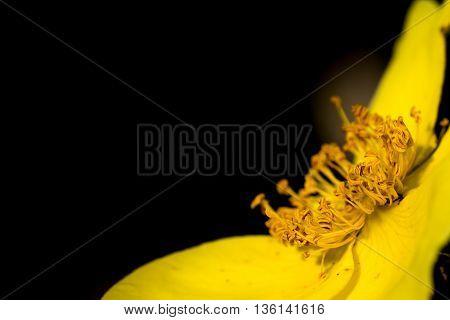 Macro Of Yellow Flower Stamens
