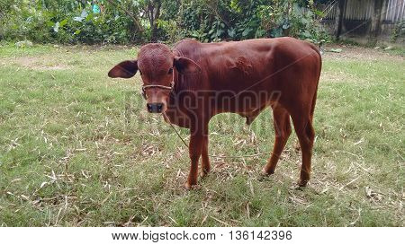 brown cow bull grazing on green meadow