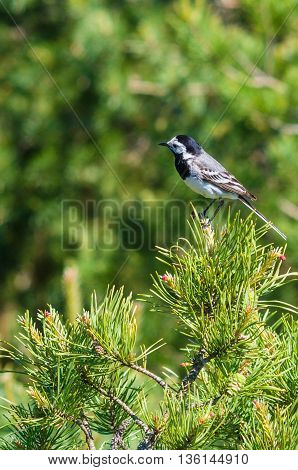 White wagtail or Motacilla alba on pine tree branch national bird of Latvia