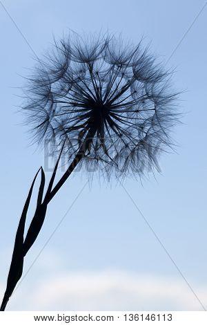 Dandelion silhouette fluffy flower on a blue sunset sky