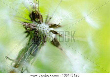 Close-up Photo Of Ripe Dandelion
