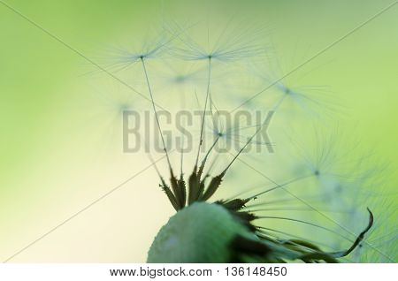 Dandelion Fluff On A Blurred  Background.
