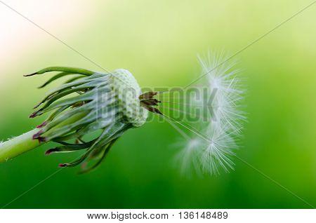 Dandelion Fluff On A Blurred  Background.
