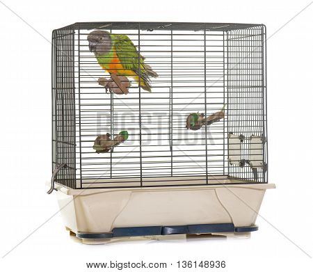 Senegal parrot in cage in front of white background