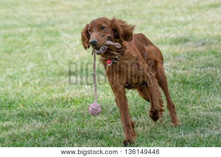 Irish setter runs across the fieldselective focus on the dog