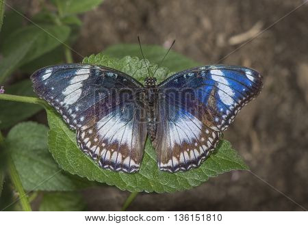 Great Eggfly Butterfly on a plant close up