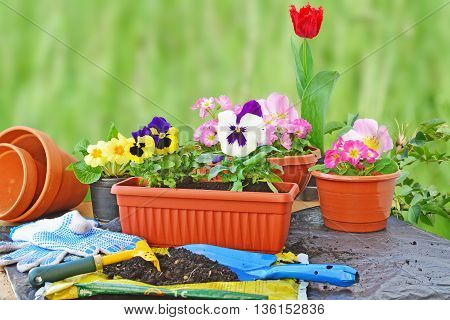 Planting flowers flower pots potting soil trowel work gloves and plants on a table outdoors.