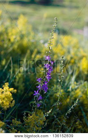 Bluebell Flowers On Summer Meadow