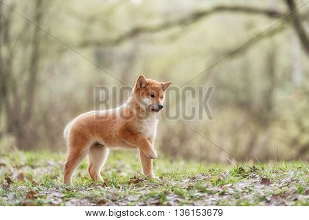 Beautiful Young Red Shiba Inu Puppy Dog Outdoor